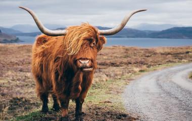 Enchanting Travels-Europe Tours- Hairy Scottish Yak on the road, Isle of Skye