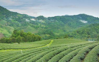 Tee Plantation in Ostindien