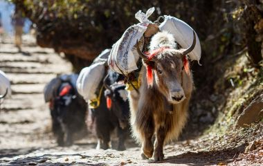 Asia Tours Yaks carrying weight in Nepal Asia