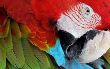 Enchanting Travels Guatemala Tours Close up of colorful Scarlet Macaw (Ara macao) a large red, yellow, and blue South American parrot, Guatemala