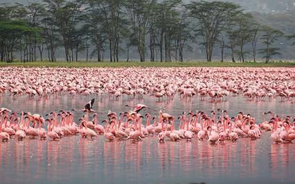 Flamingos am Nkuru See beobachten