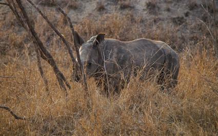 Nashorn steht im Gebüsch
