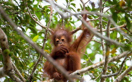 Baby orangutan on top of a fig tree, sighted along the Kinabatangan river in Sabah, Malaysian Borneo