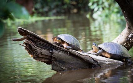 Turtles sunbathing in Tortuguero