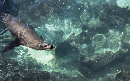 Sea lion swimming in crystal clear green water near the coast of San Cristobal Island, Galapagos Islands, Ecuador, South America