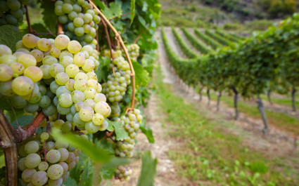 Enchanting Travels Germany Tours Vineyard with ripe white vine Riesling grapes in Germany