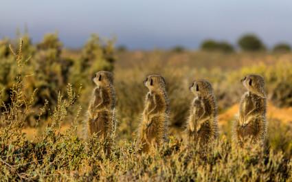 Meerkats sunbathing in the Little Karoo, best road trips