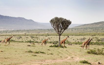 Giraffe in West Kilimanjaro