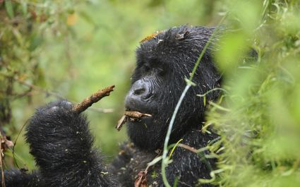 Enchanting Travels African safari parks to see - Mountain gorilla female