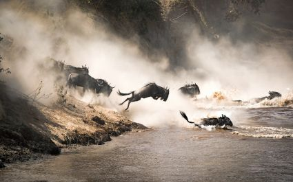 Wildebeest jumping into the water