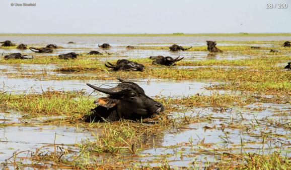 Myanmar Reisebericht - schwimmende Büffel