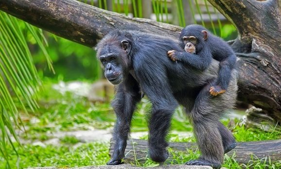 common-chimpanzee-with-her-child-in-the-wild-rwanda-shutterstock_193785395