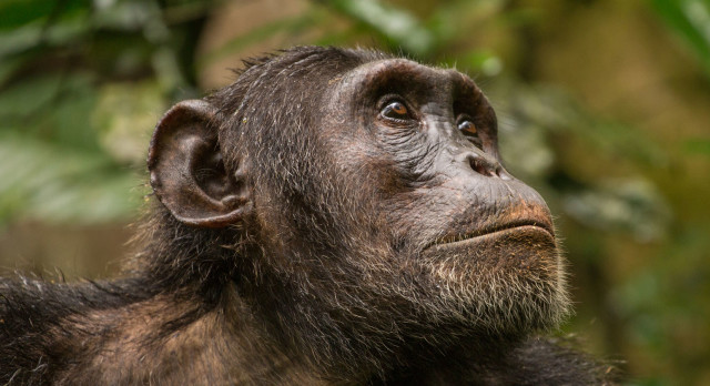 Portrait of mature male chimpanzee looking into the distance in Budongo Forest Reserve, Uganda, Africa