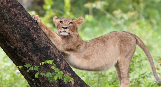 Raubkatzen im Gonarezhou Nationalpark in Simbabwe
