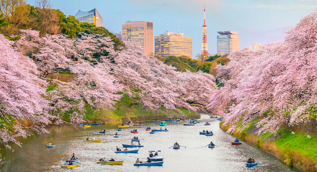 Enchanting Travels Japan Tours Chidorigafuchi park in Tokyo during sakura season