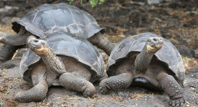 Giant Tortoises of Galapagos