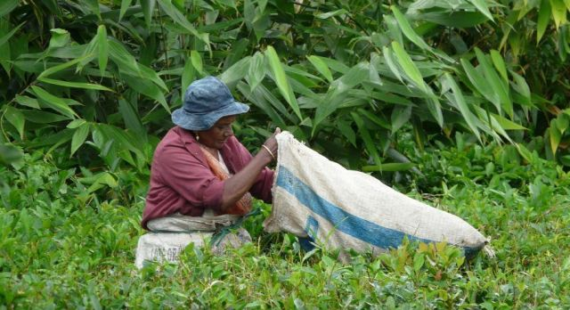 Women plugging tea leaves