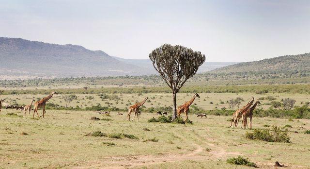Giraffen in West Kilimanjaro