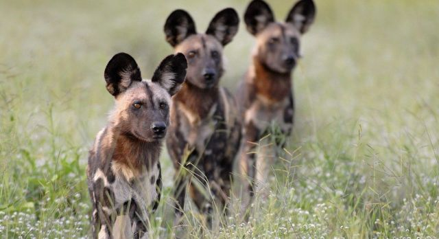 Wildhunde im Kafue Nationalpark