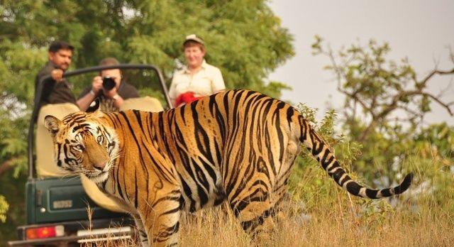 Auf einer Indien Safari kommen Touristen einem Tiger sehr nah