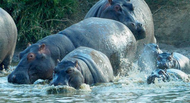 Nilpferde im Etosha Nationalpark