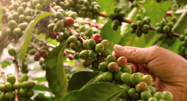 Enchanting travels Colombia tour Coffee plantation