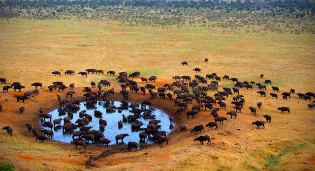 Buffaloes at the watering hole