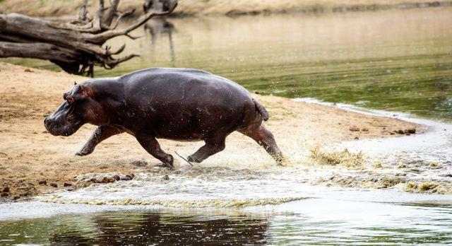 Ein Flusspferd verlässt das Wasser