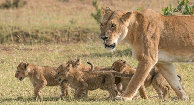 A Lion of the Masai Mara National Park in Kenya Africa
