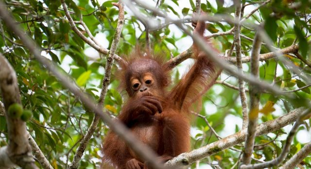 Baby orangutan on top of a fig tree, sighted along the Kinabatangan river in Sabah, Malaysian Borneo