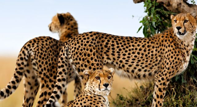 Get sight of the cheetah