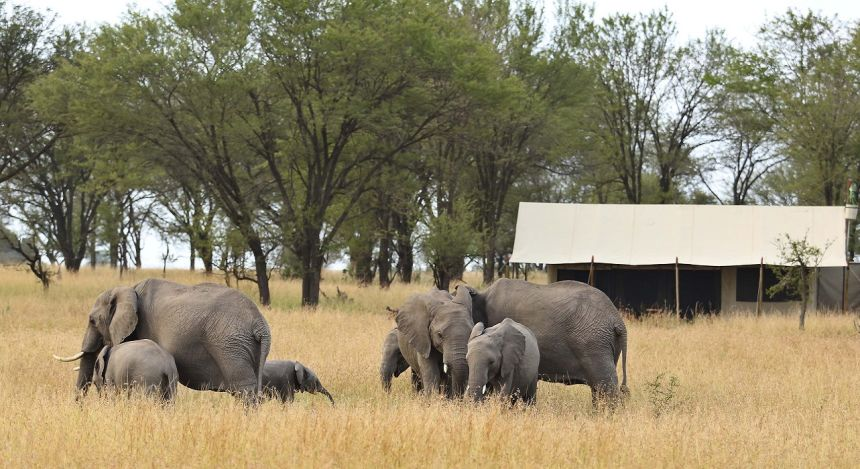 Elefantenherde neben Safarizelt