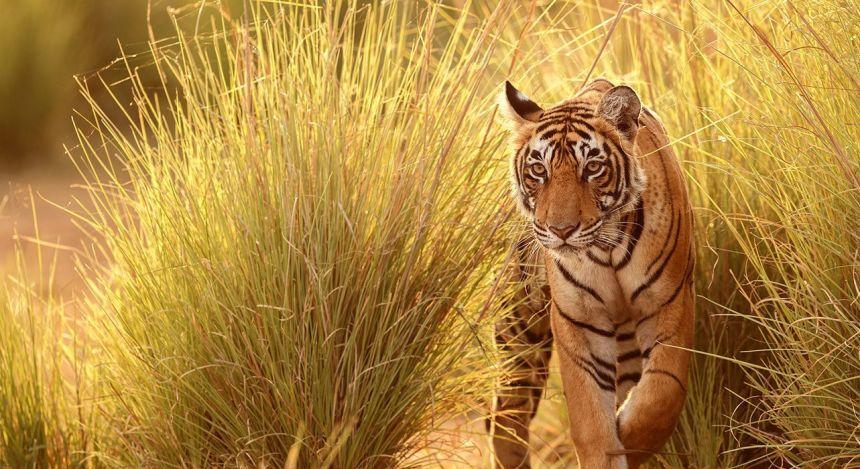 Experience tiger safari india with Enchanting Travels