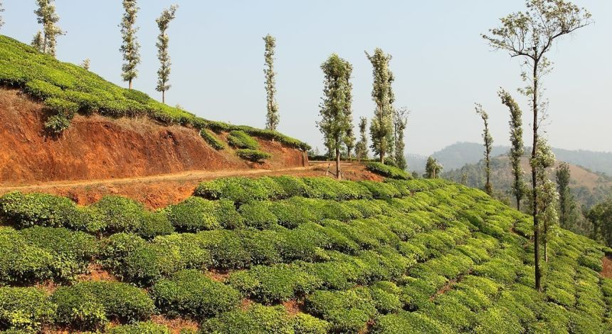 Tea plantation in Wayanad