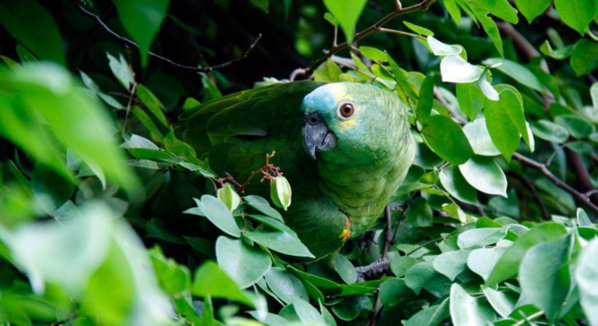 Es gibt 1.300 Vogelarten in Amazonas