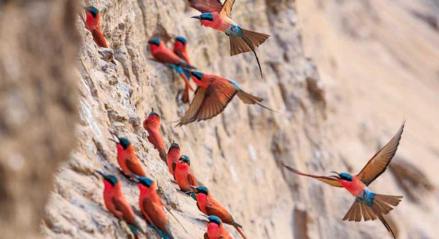 Nördlicher Karminspint im Luangwa-Nationalpark in Südafrika