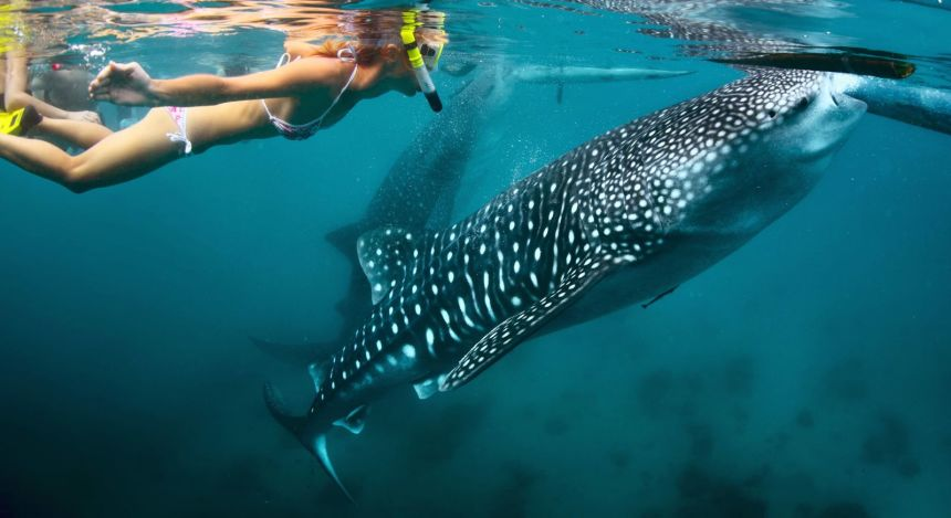Wildlife tour - Snorkeling with whale sharks