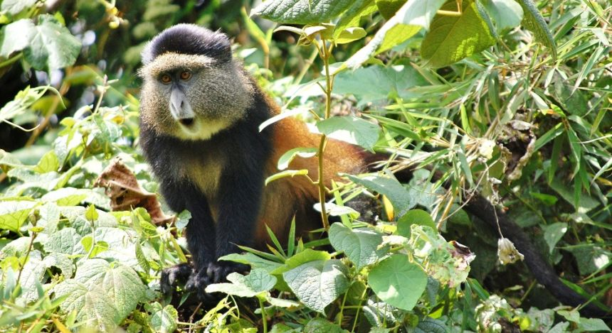 Enchanting Travels African safari parks to see - Golden Monkey, Volcanoes National Park