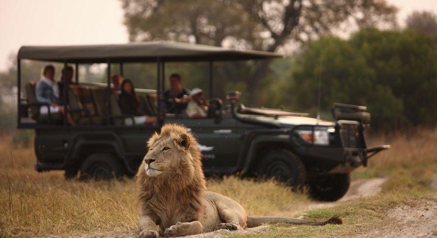 Löwe liegt neben Safari-Geländewagen