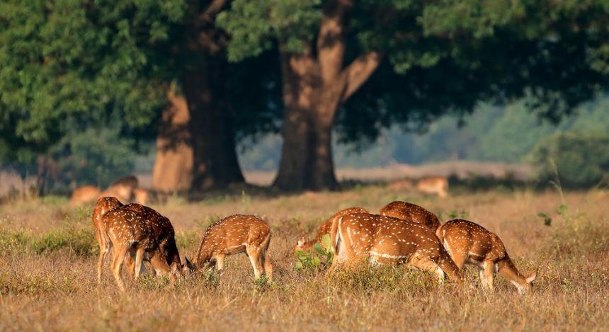 Eine Herde grasender Axialhirsche