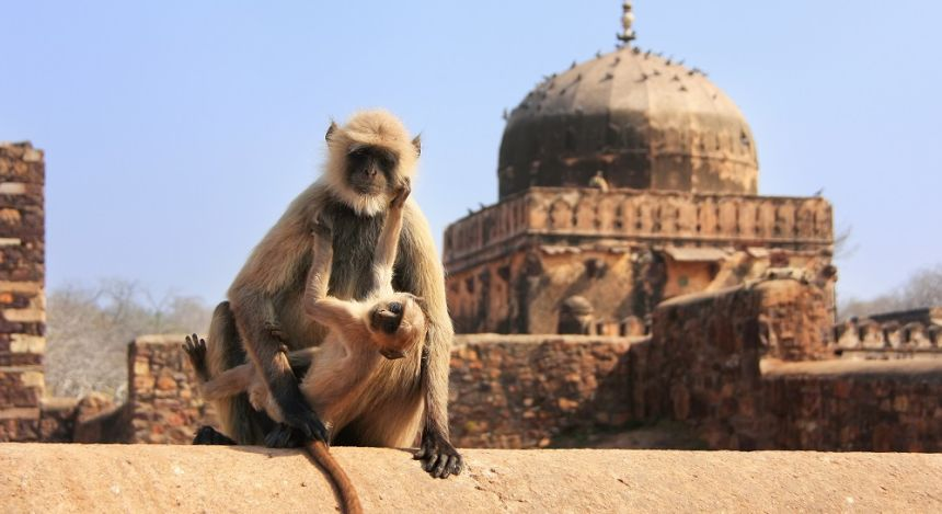 Gray langur (Semnopithecus dussumieri) with a baby sitting at Ranthambore Fort, Rajasthan