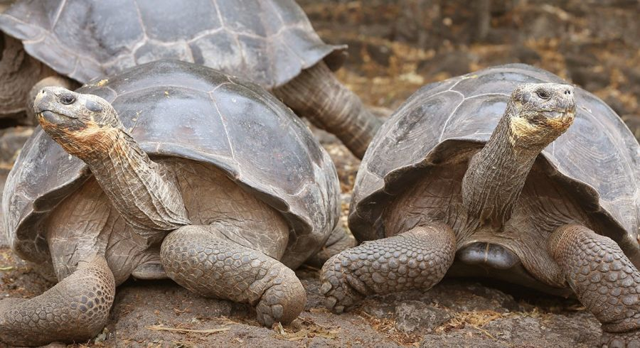 Die typischen Galapagos Riesenschildkröten besuchen - Santa Cruz