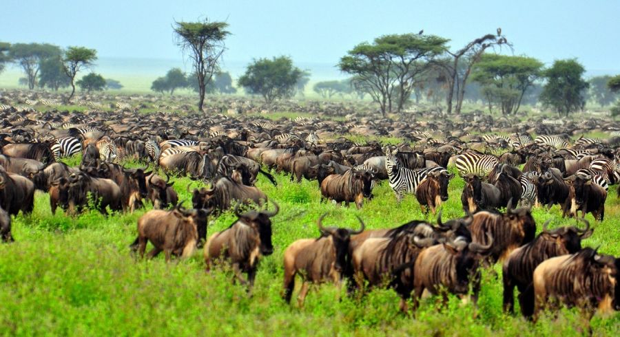 The Great Migration at Serengeti National Park, Tanzania, Africa, shutterstock_51072787 (1)