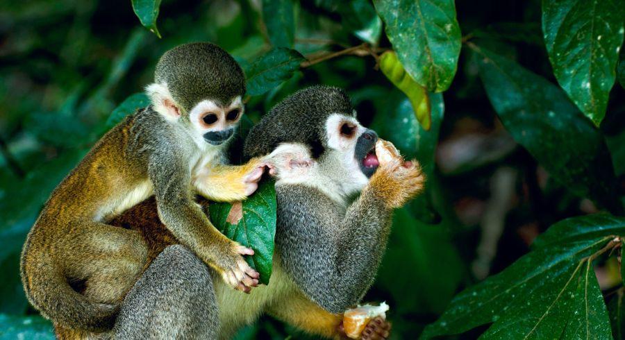 Affen im brasilianischen Amazonas