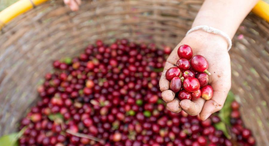 Frisch gepflückte Kaffeebohnen in Costa Rica
