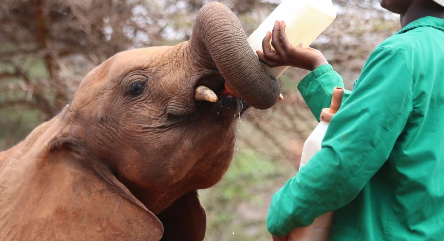 David Sheldrick Elephant Orphanage in Nairobi, Kenya