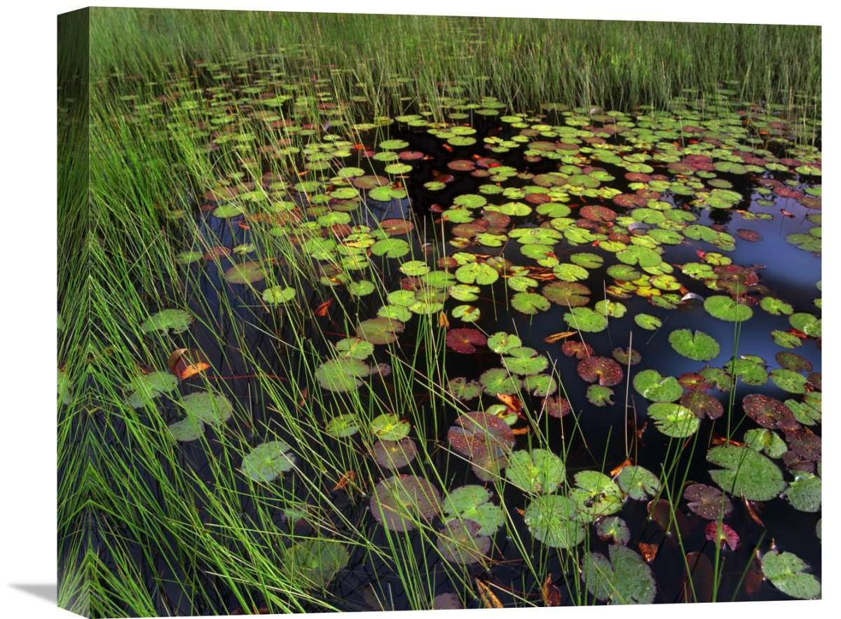 Pond With Lily Pads And Grasses, Cape Cod, Massachusetts