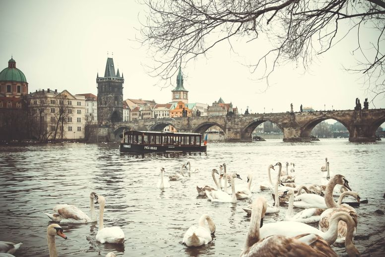 Swans Swimming in the Vltava River in View of the Charles Bridge in Prague