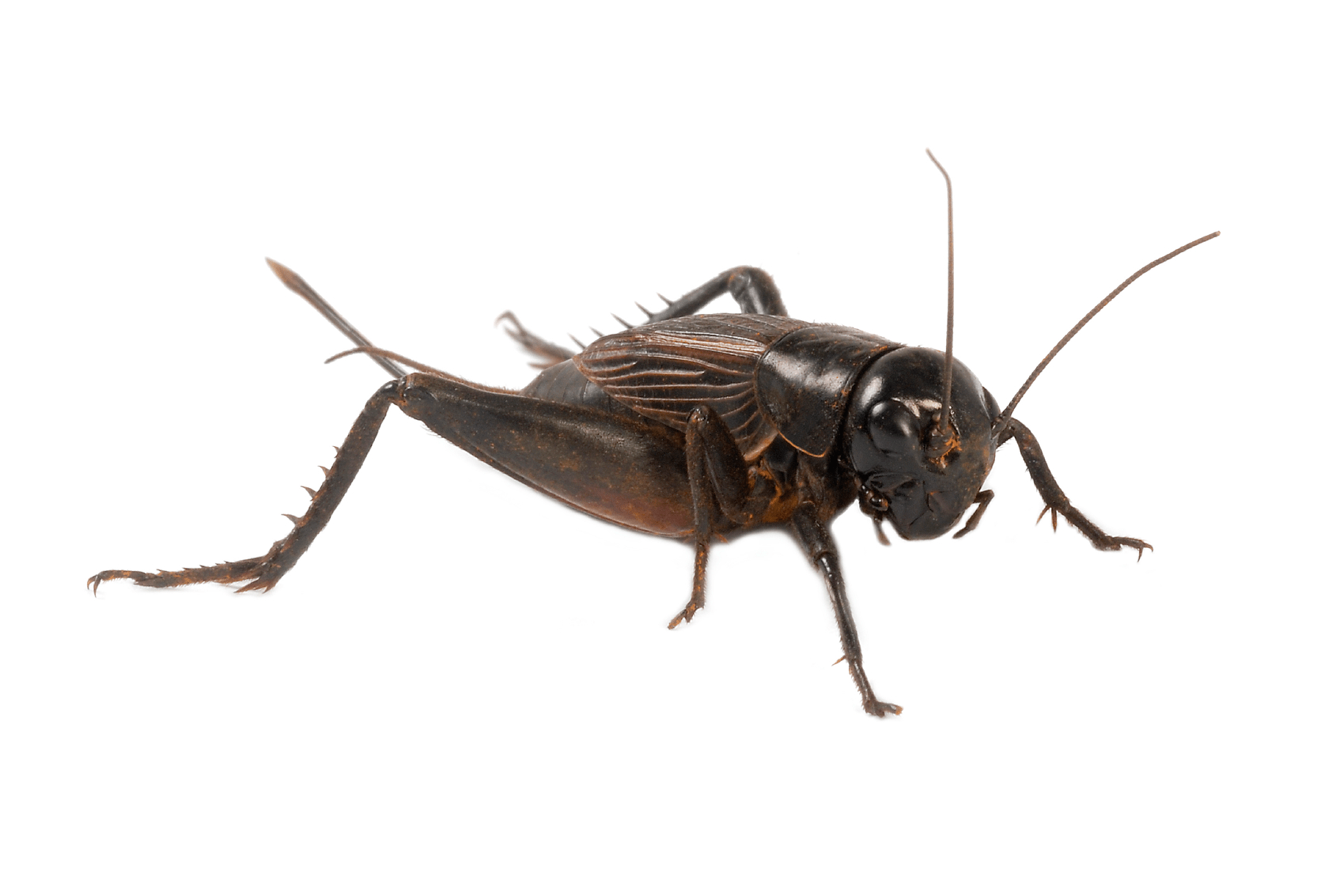 Picture of a horrible, enormous cricket