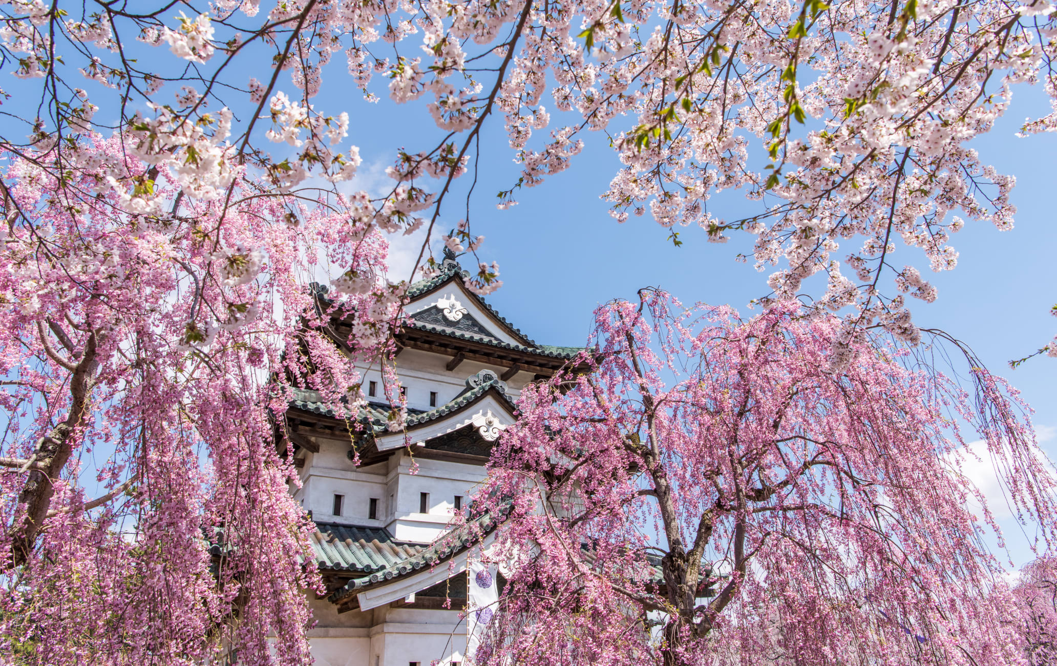 Hirosaki Park Cherry Blossom-SPR